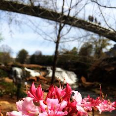 There is more to explore in Falls Park than you would think...Like these beautiful flowers and surrounding gardens! By @jamarcusontv // yeahTHATgreenville