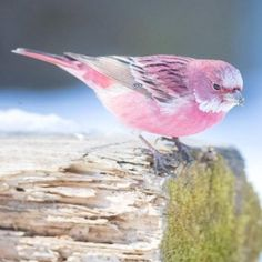 This pink bird is called the Rose finch and it looks like cotton candy in the snow. Cute Birds, Pretty Birds, Small Birds, Little Birds, Colorful Birds, Beautiful Birds, Animals Beautiful, Pink Bird, Tier Fotos