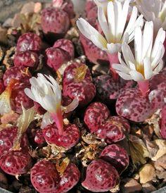 """C.pellucidum ssp.neohallii """"Rubrum"""""""