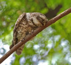 """Am Sleeping Do not Disturb""  Spotted Owlet"