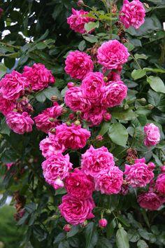 'Laguna' (öfterblühende Kletterrose, robuste ADR-Rose), starker Wuchs, intensiver Duft