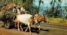 transport de la canne à sucre .la Réunion  .