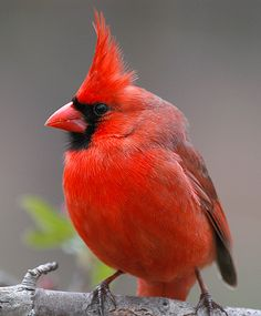Cardinal male  c by hoganphoto, via Flickr