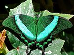 Emerald swallowtail.  Saw one today!