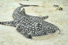 Whale Shark at LUX South Ari Atoll Sand Art, Maldives, Shark, The Maldives, Sharks