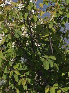 Muchovník jelšolistý - Prince Wiliam, Koreninová a liečivá záhrada