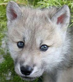 Cute Wolf | Cute Wolf - Cute Wolf Zone Photo (16877337) - Fanpop fanclubs
