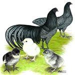 Blue Sumatra Chicks for Sale, Buy Blue Sumatra Chickens,Blue Sumatra Chicken Picture Images