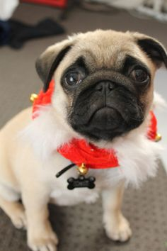 calithepug:  on the seventh day of christmas my true love gave to me….