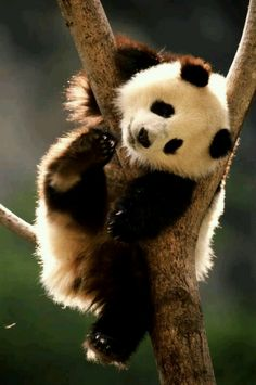 Animais selvagens #animals #panda