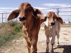 brahma calves. Another reason I still don't eat beef.