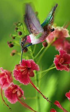 Ruby-throated Hummingbird. Colibri à gorge rubis. (Archilochus colubris). Ce sont de remarquables voiliers, Ils manoeuvrent à une vitesse incroyable de 55 à 75 battement d'ailes par seconde. Contrairement aux autres oiseaux, ils peuvent voler sur place et changer rapidement  de direction dans les airs.