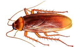 Cockroach Treatment Bangalore