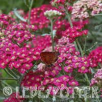 yarrow summerwine butterflies love it! and I love the dark red color.