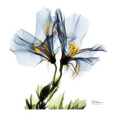Blue Azalea in Bloom Lámina
