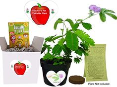 Gifts for Teachers Show Appreciation  Pet TickleMe Plant  Grow the Classroom Plant that closes its leaves and lowers its branches when you Tickle It Funny and Guaranteed to make Teachers Smile >>> Continue with the details at the image link. #AppreciationGift