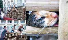 Great people! - Chinese animal activists save 1,000 cats to be slaughtered for meat in China | Daily Mail Online