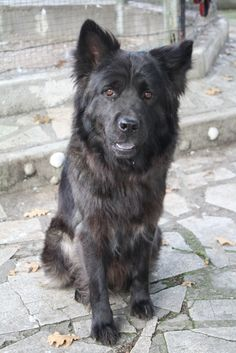 Adoption Moyen chien Junior - Refuge du Mordant - Meurthe-et-Moselle - Chow Chow - SecondeChance.org
