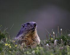 Marmotte des alpes - Marmot - Une autre vue sur la marmotte des alpes. Another view on the marmot of the Alps.