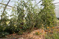 Roșiile din solar , peste 30 de varietăți heirloom Solar, Plant, Lawn And Garden