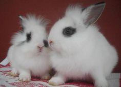 Lionhead Rabbits ♥