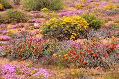 Daisy Field, Spring Flowering Bulbs, Unusual Plants, Winter Springs, Sunrises, West Coast, Wild Flowers, South Africa, Fields