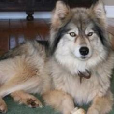 Wolf hybrid! So pretty...Really missing my Trouble today.