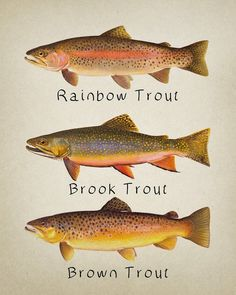Trout Poster - Fish Print - Rainbow Brook Brown - Rainbow Trout - Fishing Poster Wall Art Decor Man - Lake Fishing Tips - Tips on How to Fish in a Lake Trout Fishing Tips, Walleye Fishing, Sea Fishing, Saltwater Fishing, Fishing Rods, Fishing Tackle, Fishing Gifts, Fishing Videos, Women Fishing