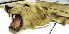 The Teddy Roosevelt Collection:  President Theodore Roosevelt's personal African lion rug