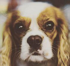 Hypnotizing eyes! #magnetcavalier #magnet #dog #dogsinstagram #cavalierstagram #cavaliersofinstagram #cavalierkingcharlesspaniel #kavalirek #kavalirkingcharlesspanel #eyes👀