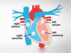 Each day, your heart beats around times. This continuously pumps about five litres (eight pints) of blood around your body through a network of Heart Structure, Heart Diagram, Heart Institute, Heart Anatomy, Heart Songs, Cardiology, Anatomy And Physiology, Heart Health, Getting To Know You