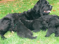 Newfie pups and their mama