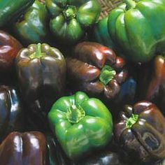 Chocolate Beauty (Seed Savers Exchange)--(Capsicum annuum) Shiny green bell peppers ripen to a gorgeous chocolate brown. Excellent sweet flavor when fully ripe, average flavor when green. Very productive variety for home and market. 70-75 days from transplant. SWEET