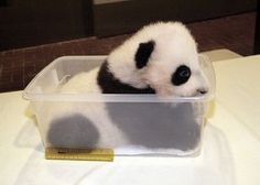 baby panda likecatherine