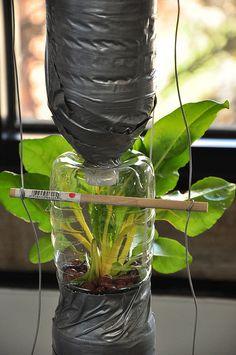 swiss chard in a window farm by k.mackay, via Flickr