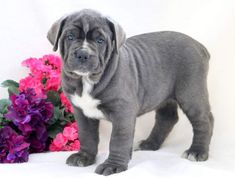 Tabby | Keystone Puppies: Puppies for Sale | Health Guaranteed #cane #corso #keystonepuppies Cane Corso Puppies, Puppies Puppies, Puppies For Sale, Pitbulls, Health, Dogs, Animals, Animales, Pit Bulls