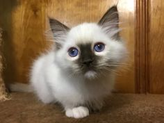 Welcome to Genotype Cats - Ragdoll Cats Kittens, Ragdoll Cats, Animals, Shop, Cute Kittens, Animales, Animaux, Kitty Cats, Animal