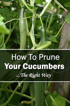 You will find cucumbers growing in most home gardens, and there is a simple reason why. We all love cucumbers! Although they can be enjoyed as is, most of use Backyard Vegetable Gardens, Veg Garden, Edible Garden, Summer Garden, Planting Vegetables, Growing Vegetables, Root Vegetables, Organic Gardening, Gardening Tips