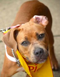 Brooke is an adoptable Staffordshire Bull Terrier Dog in Spring Lake, NJ. Please click here to see another video of Brooke. Please click here to see another video of Brooke. Meet Brooke.This grey ...