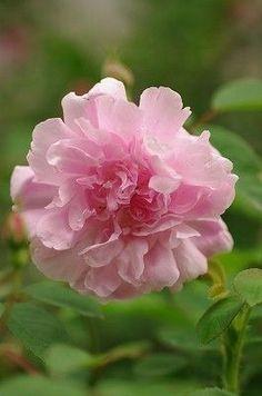 Rose 'Blush Boursault'