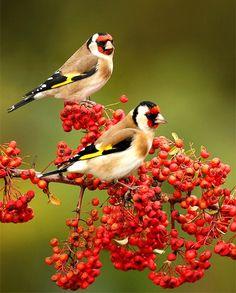European goldfinches **