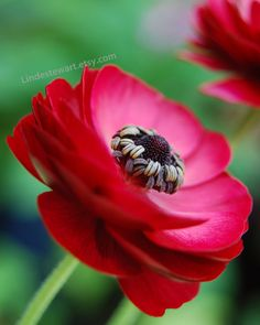 Items similar to Red Flower, Ranunculus against Green Background, flower photography on Etsy Anemone Bouquet, Ranunculus, Red Flowers, Beautiful Flowers, Green Backgrounds, Favorite Color, Planters, Colours, Flower Power