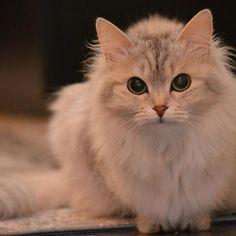 Estomatite em gatos - Sintomas e tratamento. A estomatite em gatos também se conhece como gengivite e trata-se de uma doença infecciosa crônica e de evolução lento, que apesar de necessitar de tratamento e diversos cuidados, passa...