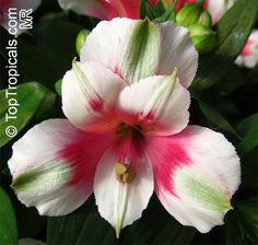 Botanical family: Alstroemeriaceae - TopTropicals.com