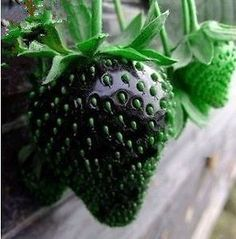 BLACK STRAWBERRY ~~~ must investigate this and see if its heirloom or what? anyone have any ideas?