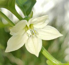 Bell pepper flower...