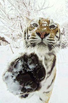 524d5278be6e sweet tiger says hi    Funny Animals