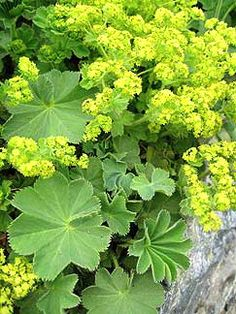 Garden Lady's mantle (Alchemilla mollis) via artesaniaflorae, via Flickr