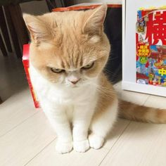 Koyuki cat from Japan. She just looks mad as hell.