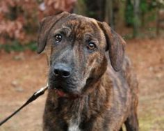 Americus is an adoptable Plott Hound Dog in Atlanta, GA. Rescued from a rural shelter in South Georgia, Americus and her brother Wyndom (see our listing for him too) came to Homeless Pets hoping for a...